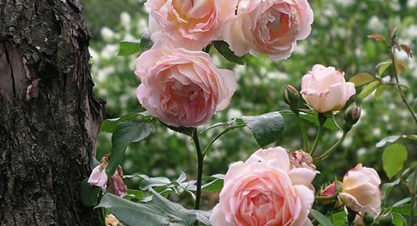Посадка роз осенью: инструкция посадки в открытый грунт