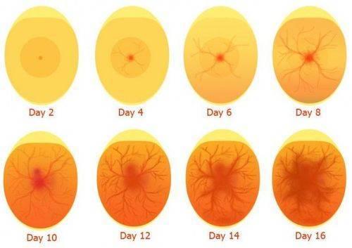 Овоскопирование куриных яиц по дням, во время инкубации с фото и видео материалами