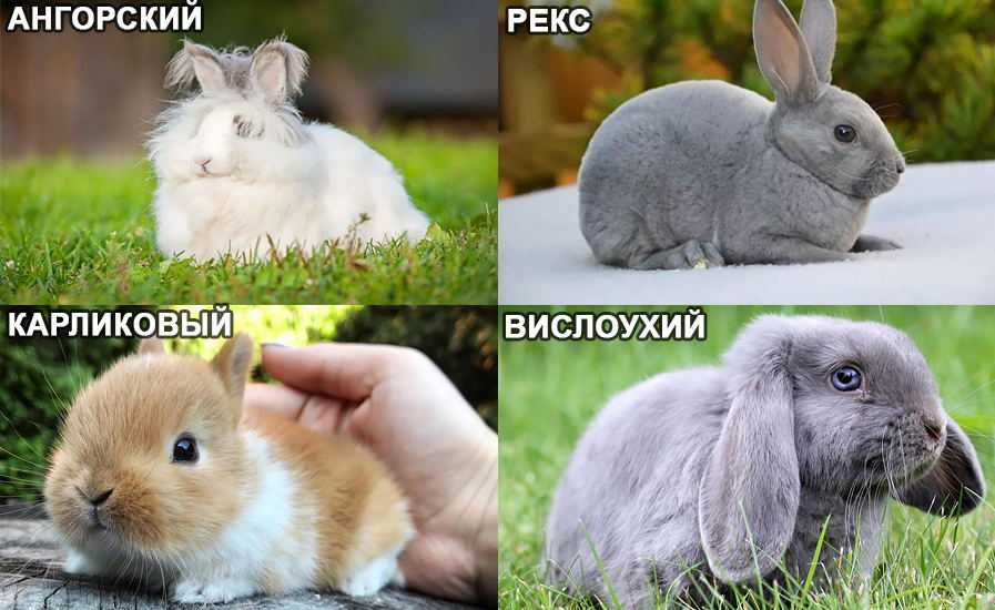 Декоративные кролики — подробный разбор содержания и ухода