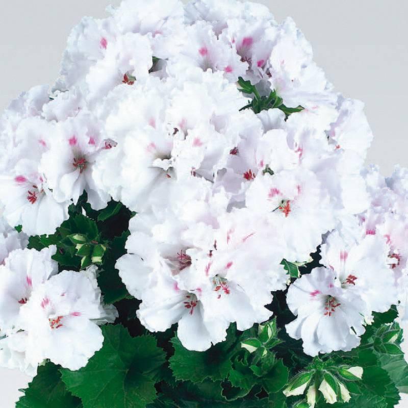 Как добиться пышного цветения королевской герани? советы по обрезке и другим процедурам