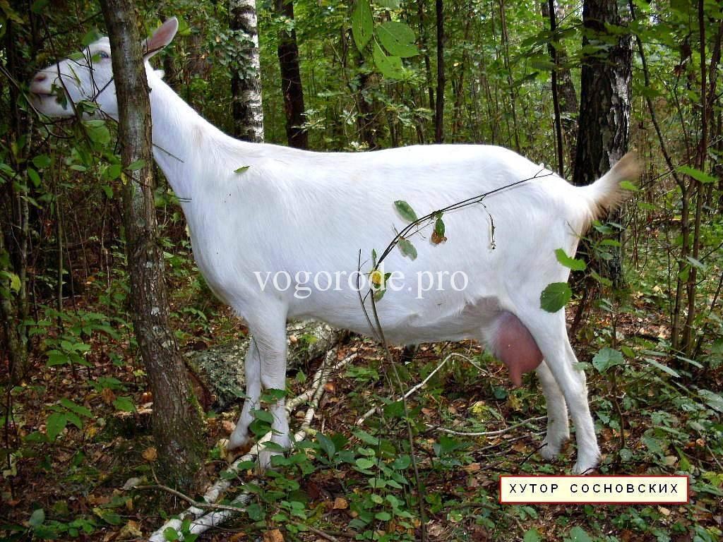Мастит у коз: признаки и лечение препаратами nita-farm