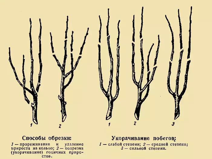 Как обрезать яблоню колоновидную. особенности обрезки колоновидных яблонь | зелёный сад