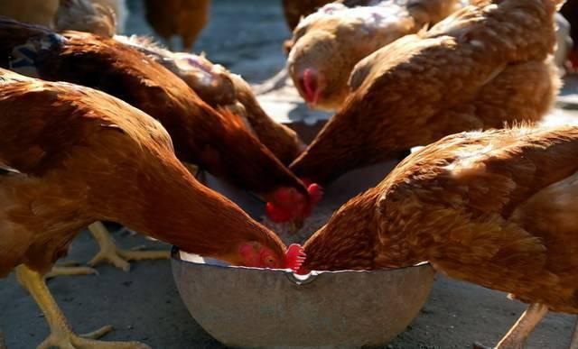 Чем кормить кур несушек зимой, чтобы несли яйца