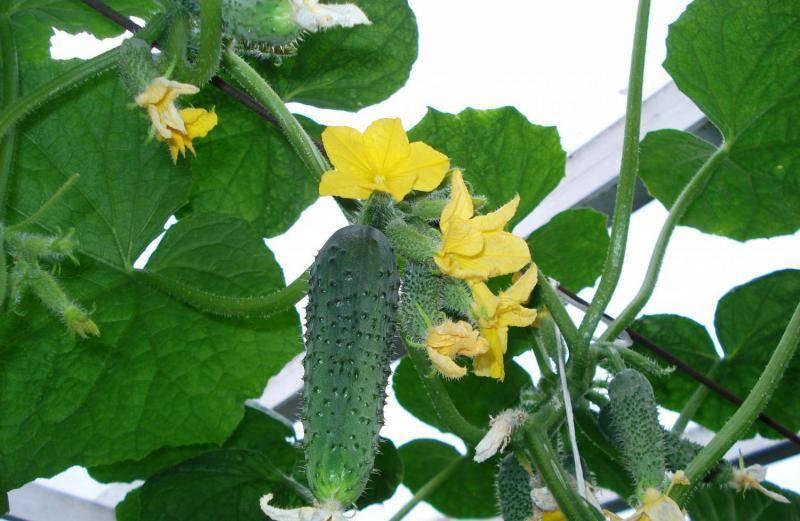 Мужские и женские цветки на огурцах - в рассаде