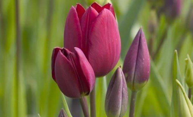 Тюльпан многоцветковый: описание сортов, посадка и уход