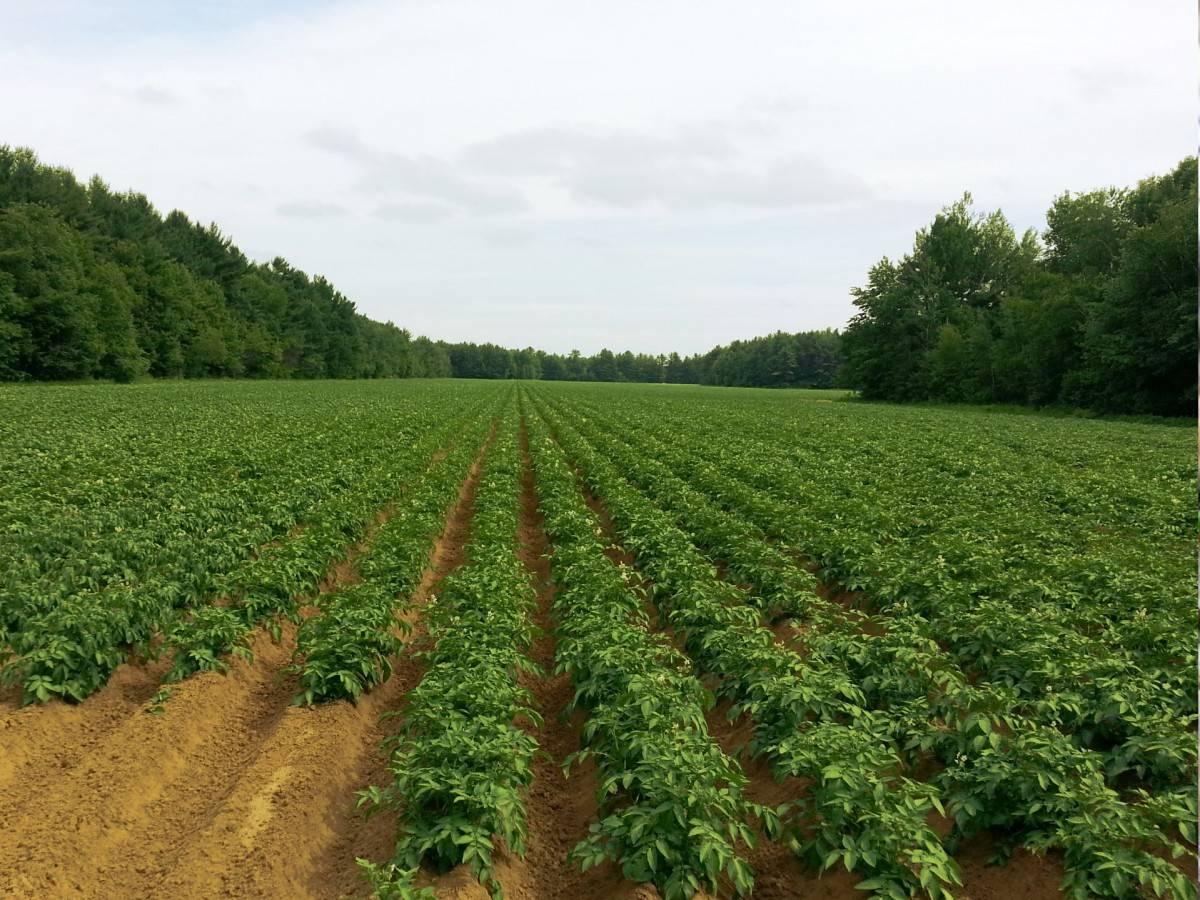 Почему желтеет ботва картофеля | сад и огород