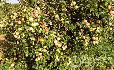 Сорт яблони имрус: описание, фото
