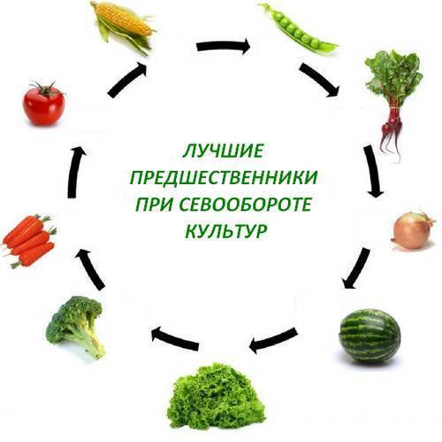 Севооборот овощных культур на дачном участке (таблица)