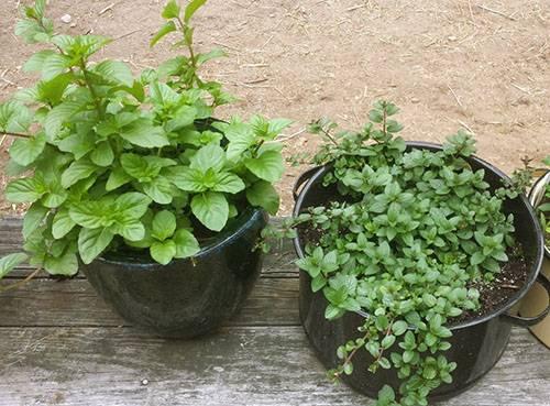 Выращивание мяты в домашних условиях: как это сделать на подоконнике в горшке