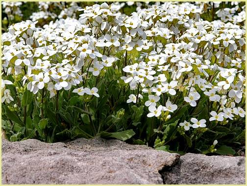Узнайте больше об арабисе альпийском и технологии его выращивания из семян