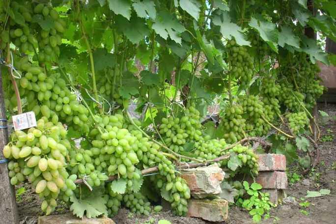 Виноград тимур: описание сорта, выращивание и уход