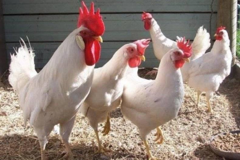 Яичные selo.guru — интернет портал о сельском хозяйстве