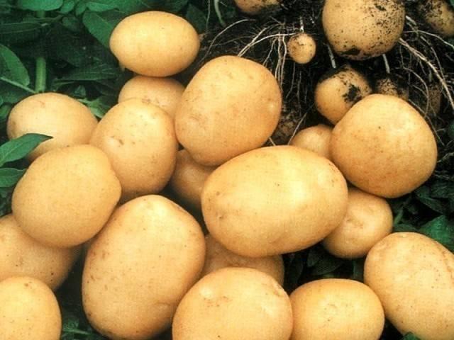 Картофель колобок – описание сорта, фото, отзывы