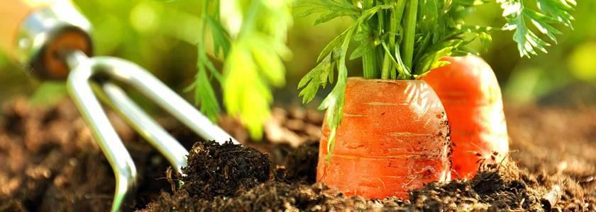 Семена моркови на ленте для посадки: чем хороши, как сажать, как сделать в домашних условиях (наклейка на туалетную бумагу и другие способы)