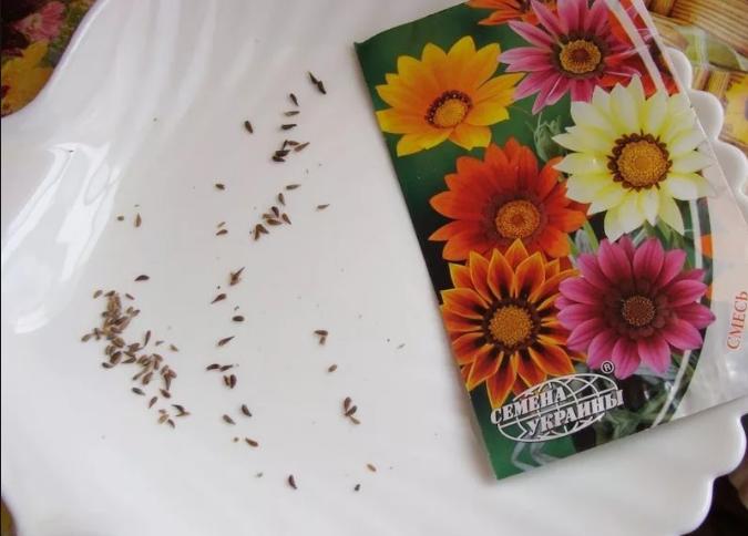 Гацания: выращивание из семян, когда сажать семена на рассаду и в грунт