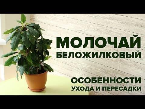 Экзотика в интерьере — выращиваем гребенчатый молочай