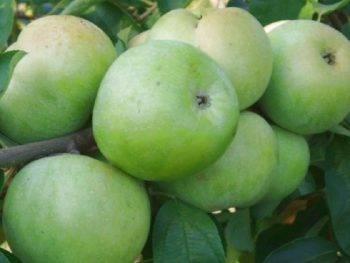 Описание сортов  яблонь. летние, осенние и зимние виды яблок (фото)