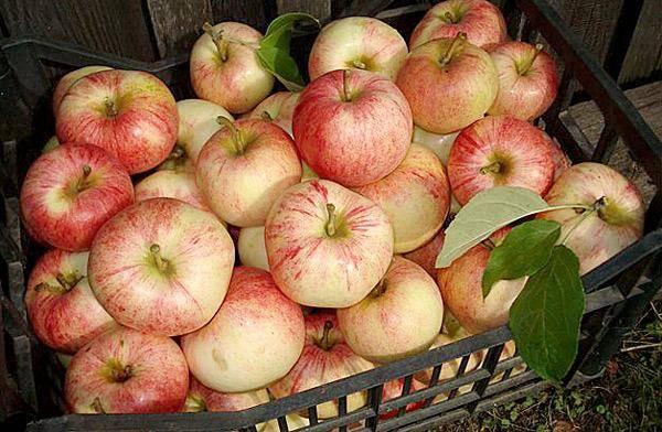 45 сортов яблок: летние, осенние и зимние, сладкие и ранние, зелёные и красные