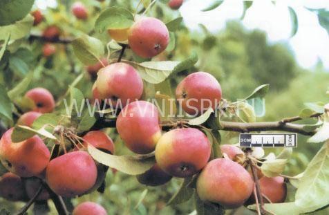 Яблоня заветное описание фото отзывы о сорте
