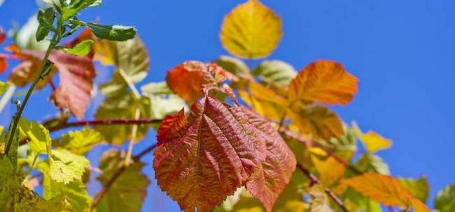 Посадка малины в весенний период: пошаговая инструкция, фото