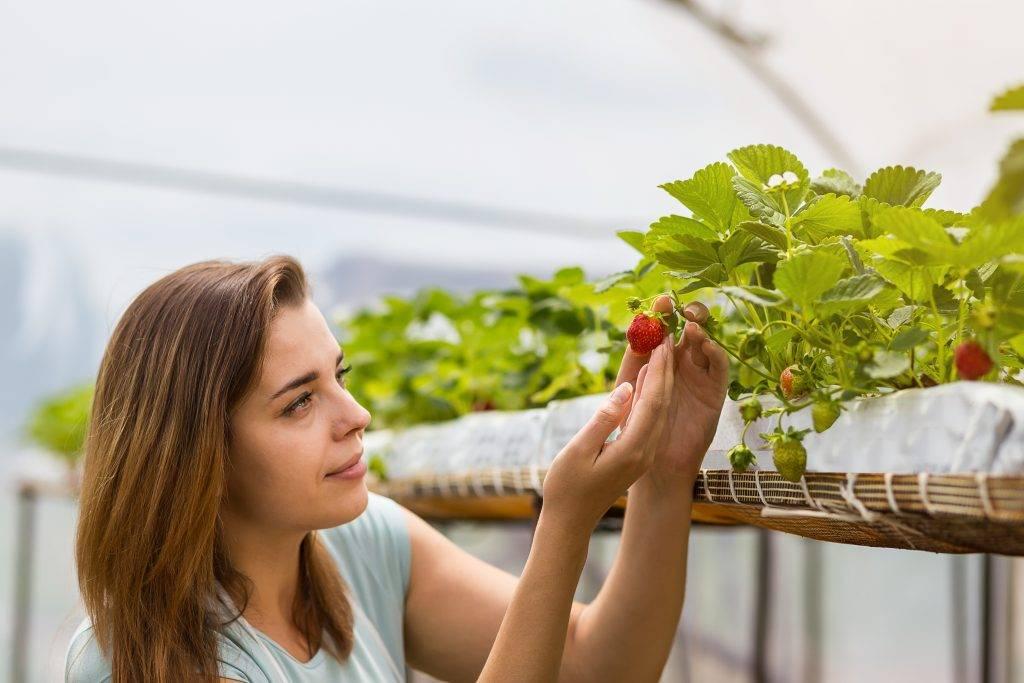Как правильно посадить клубнику осенью в открытый грунт