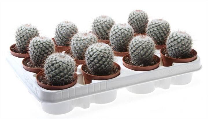 Маммиллярия пролифера (mammilaria prolifera): фото побегоносного растения, особенности выращивания и ухода, похожие кактусы selo.guru — интернет портал о сельском хозяйстве