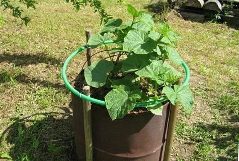 Выращивание огурцов в бочке: как посадить и вырастить, пошаговая инструкция + видео