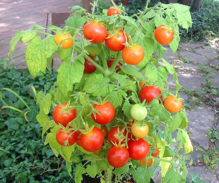 Каталог томатов | tomatland.ru
