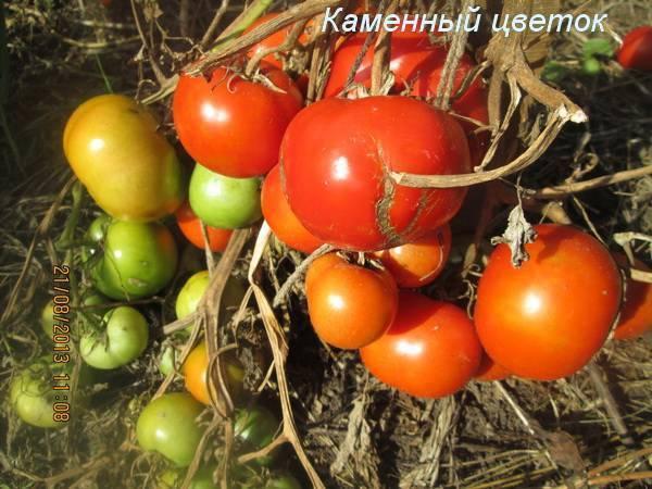 Сорт помидор каменный цветок