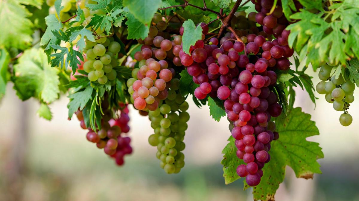 Лучшие сорта винограда для подмосковья. особенности посадки, ухода.