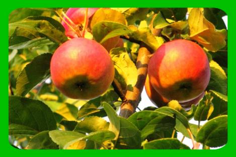 Крупноплодная яблоня баяна
