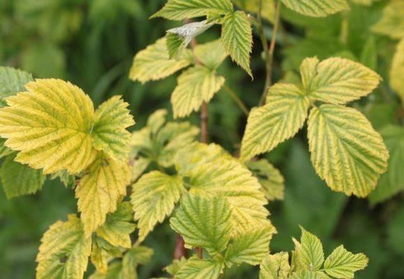 Почему желтеют листья у смородины и опадают? что делать?