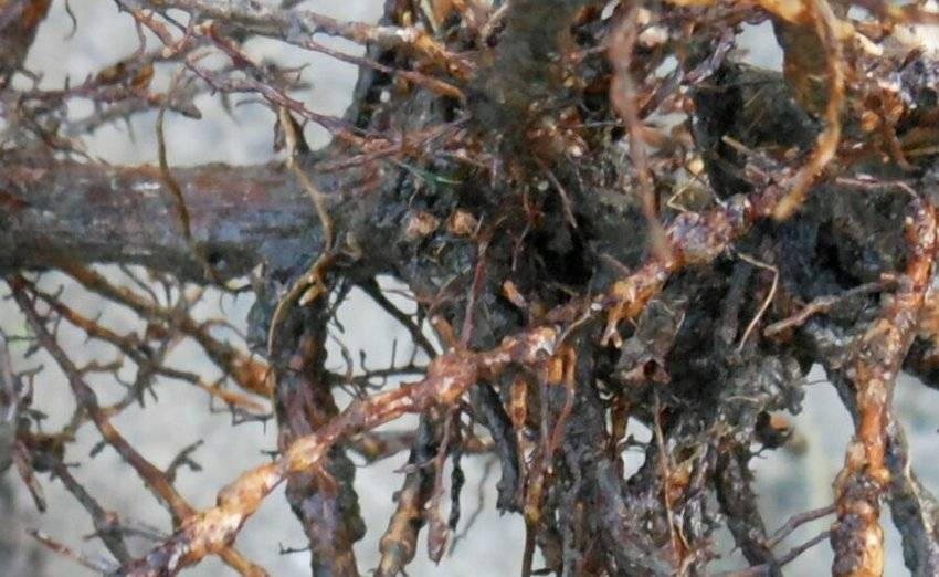 Филлоксера - листовая, виноградная, меры борьбы на винограде, препараты