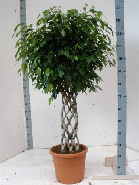 Дерево в комнате: как ухаживать за фикусом бенджамина в домашних условиях