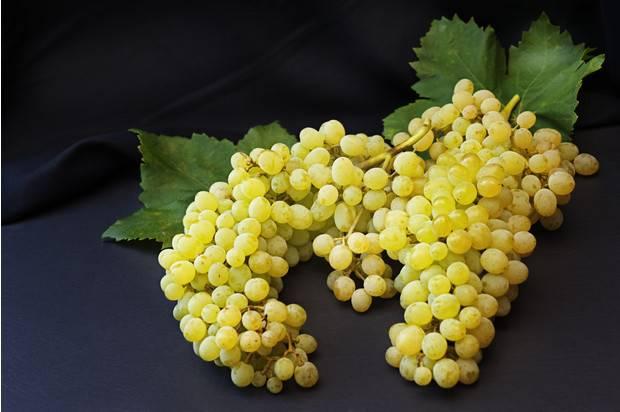 Виноград ранний магарача
