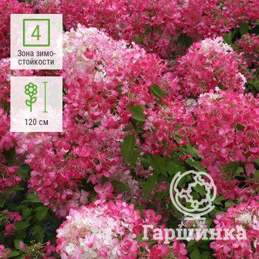 Гортензия метельчатая пинк даймонд нydrangea paniculata «pink diamond»