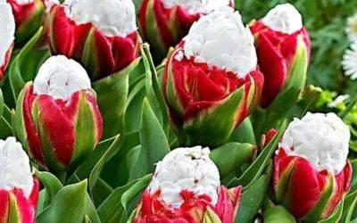 Тюльпаны Пломбир — описание сорта и фото «мороженого»