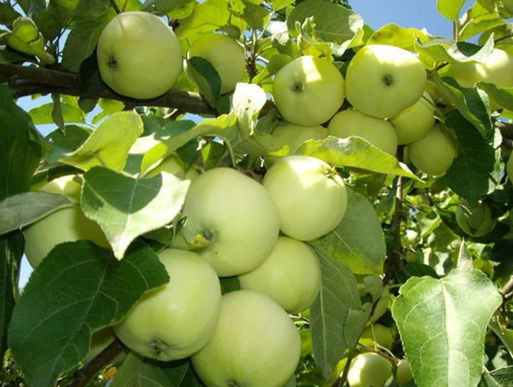 Яблоня белый налив: описание сорта и его фото, размножение и уход, когда созревают selo.guru — интернет портал о сельском хозяйстве