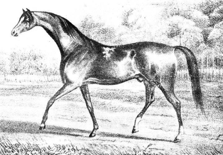 Английская чистокровная верховая лошадь: описание породы, разведение, достоинства и недостатки