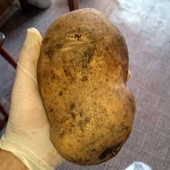 Сорт картофеля «метеор»: характеристика, агротехника выращивания