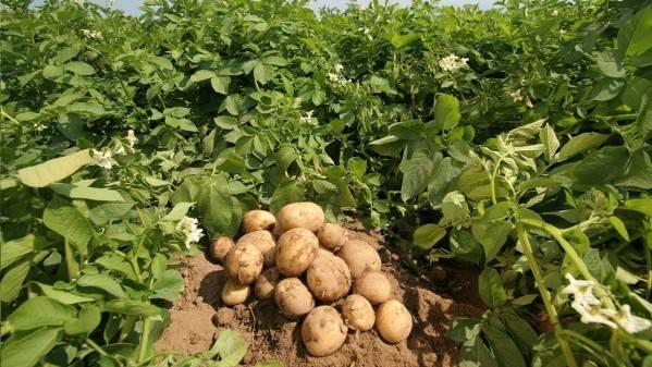 ᐉ как правильно сажать картофель: ростками вверх или вниз - roza-zanoza.ru