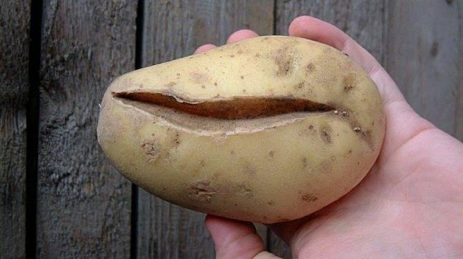 Причины, почему не цветет картофель, и что нужно делать, чтобы был хороший урожай