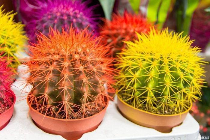 Эхинокактус грузона (37 фото): кактусы «рейнбоу» красного и желтого цвета, особенности цветения и пересадки, уход в домашних условиях