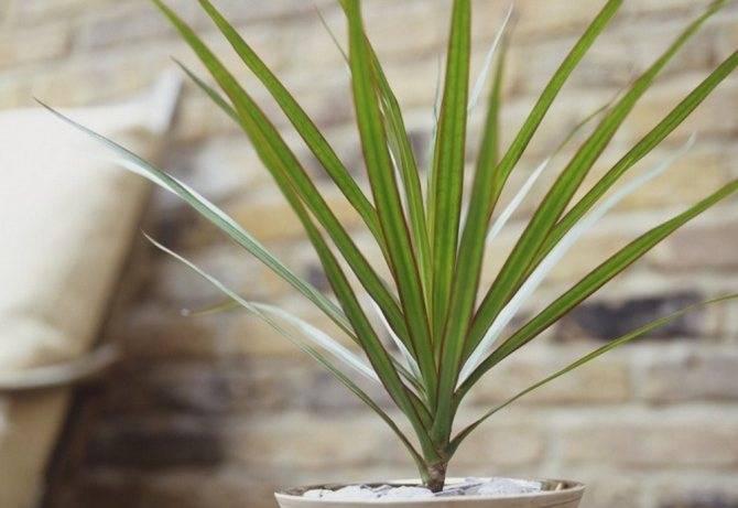 Драцена маргината (35 фото): уход за драценой окаймленной в домашних условиях, родина сорта «маджента» и размножение, обрезка и формирование кроны