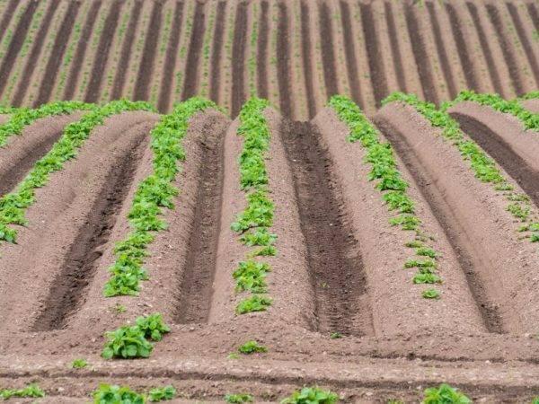 Картофель: посадка и выращивание по китайской технологии