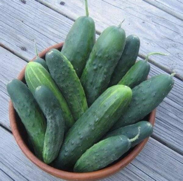 Огурцы либелла f1: описание сорта, отзывы, выращивание