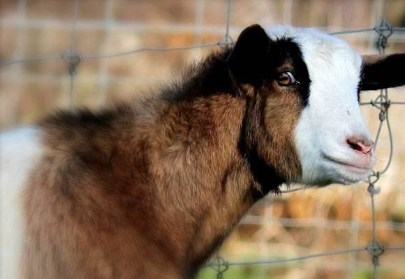 Обморочная порода коз