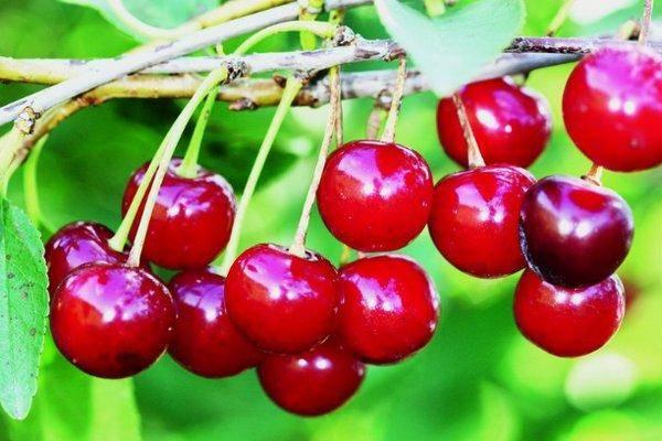 Особенности сорта вишни кармин джуэл