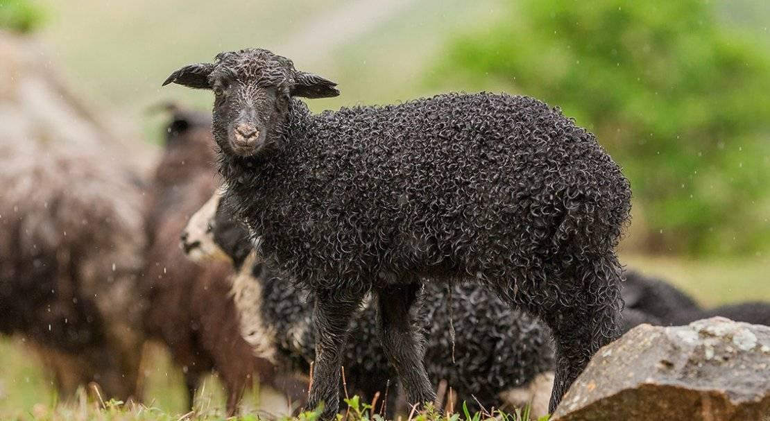 Карачаевская порода овец: описание и характеристики