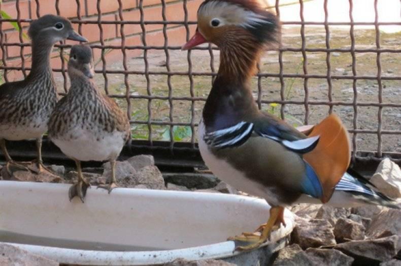 Содержание уток в домашних условиях: породы, корма, обустройство гнезд